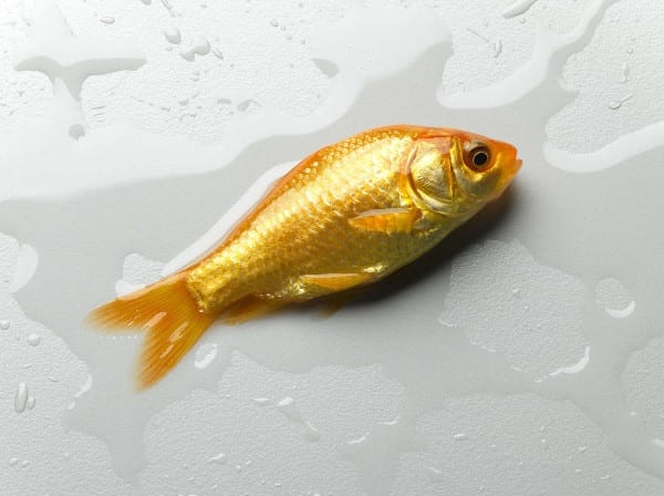 fish shiny yellow quen