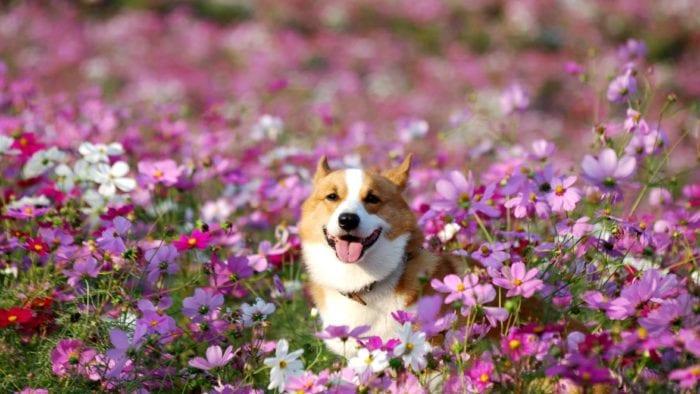 corgi flowers