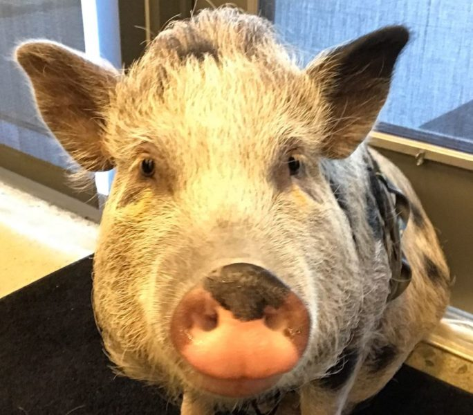The Last of Us Part II Has a Pig